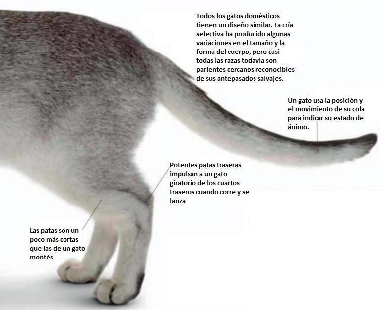 Características comunes de un gato