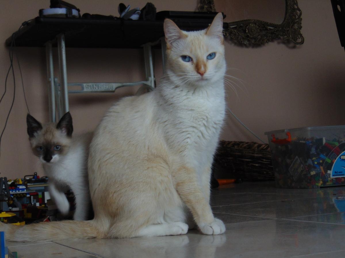Gato Colourpoint Pelo corto