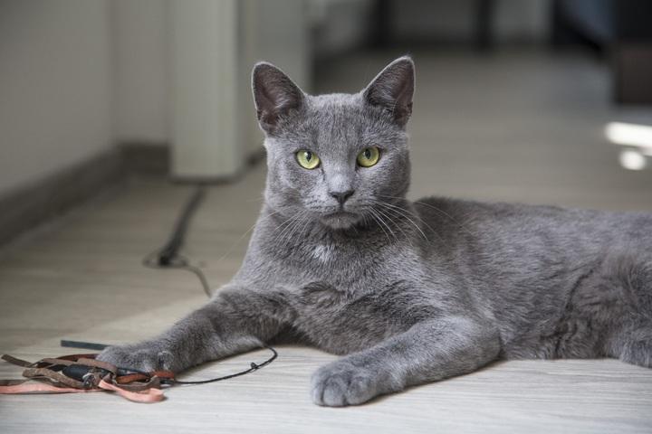 Gato Korat Características