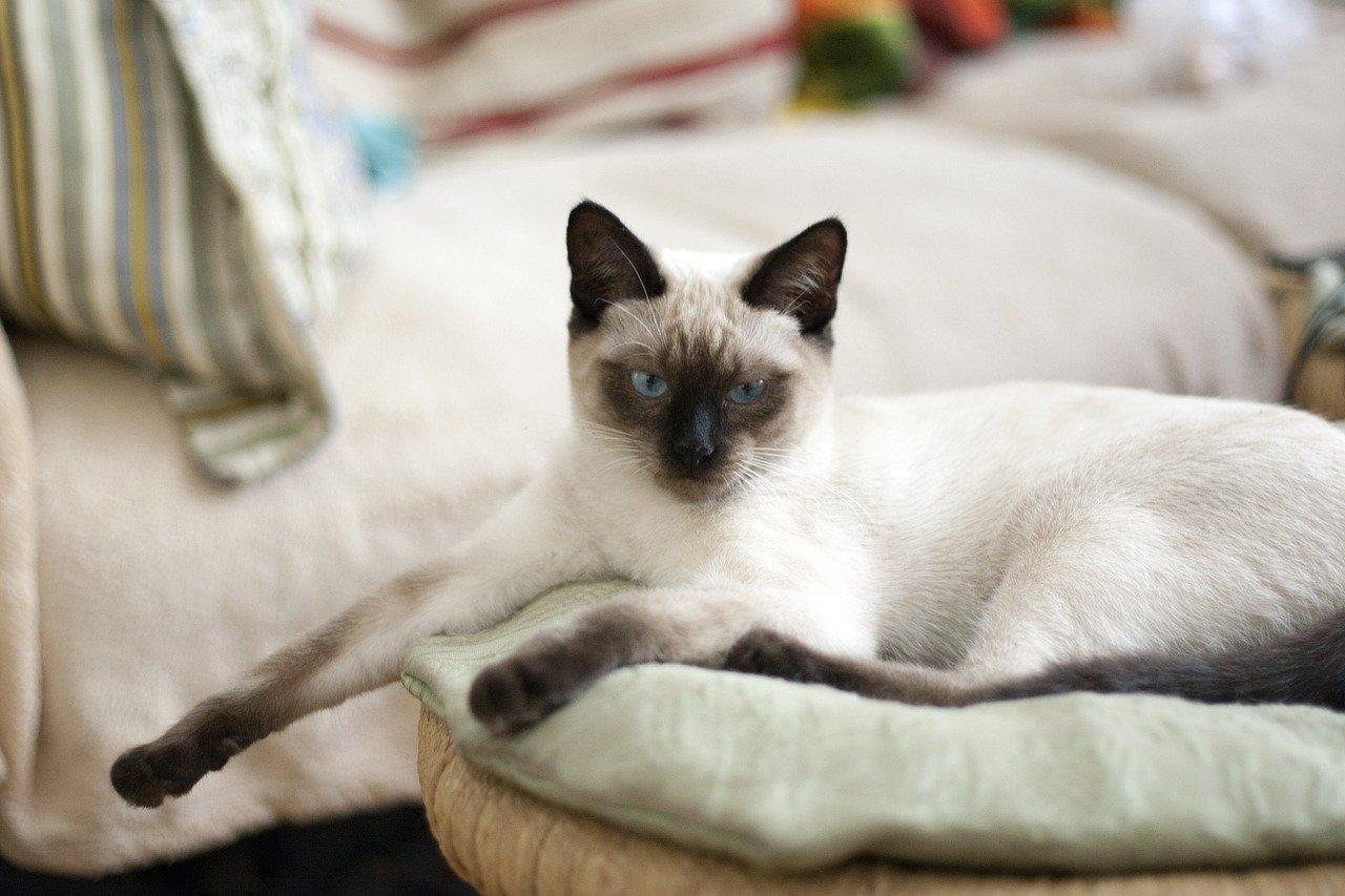 Gato Siamés Thai Características