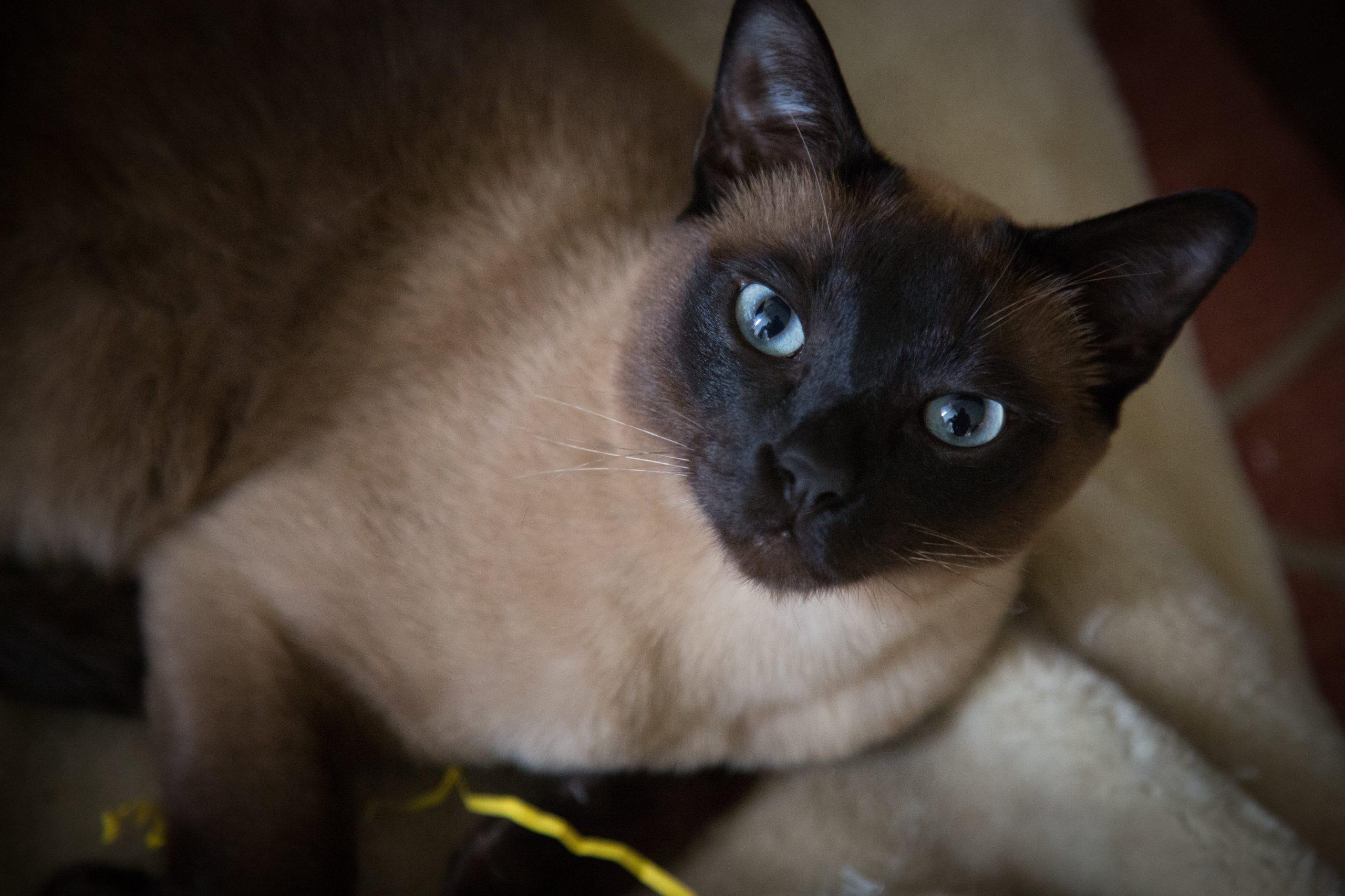 Gato Tonkinés descripción