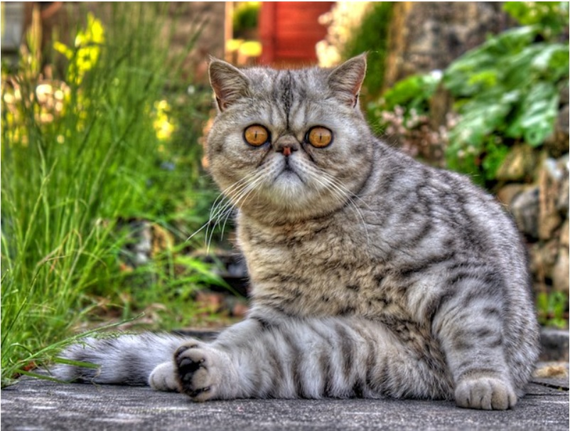 Gato exotic shorthair pelocorto