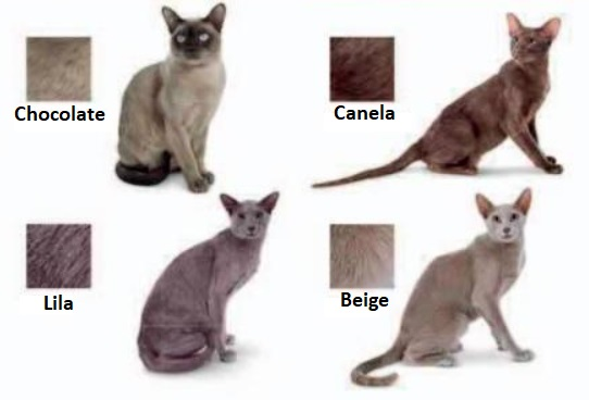 Gatos Asiáticos