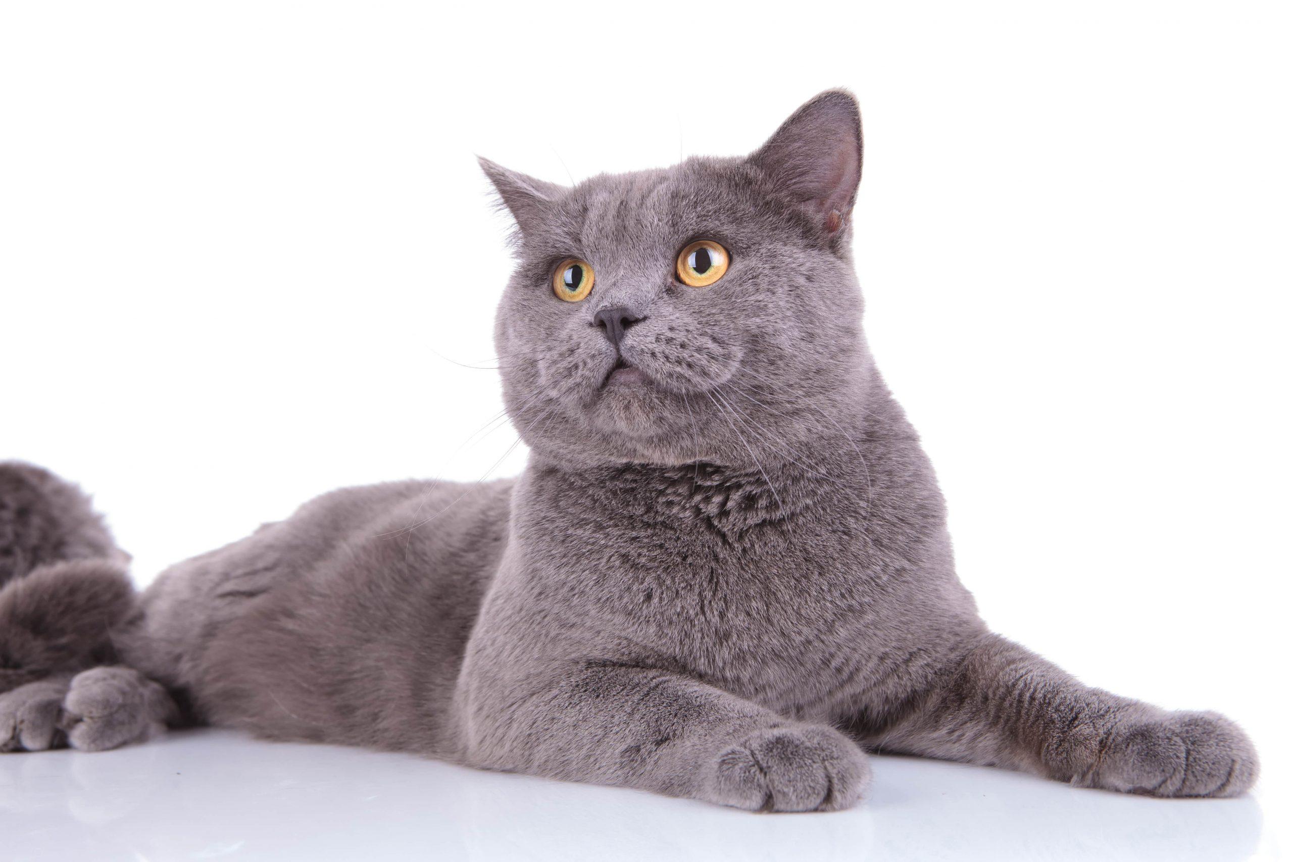 Gato de pelo corto razas