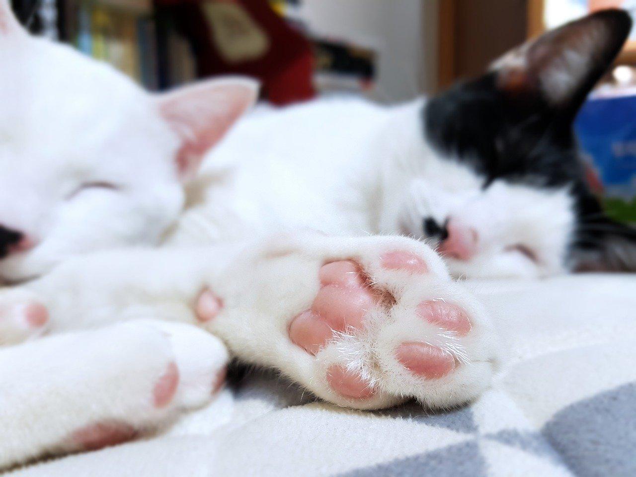 Las patas de gato tienen almohadillas carnosas y sin pelo en la parte inferior para brindar soporte
