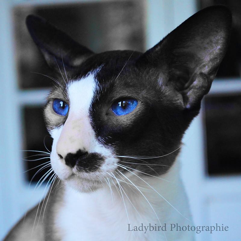 Seychellois Gato