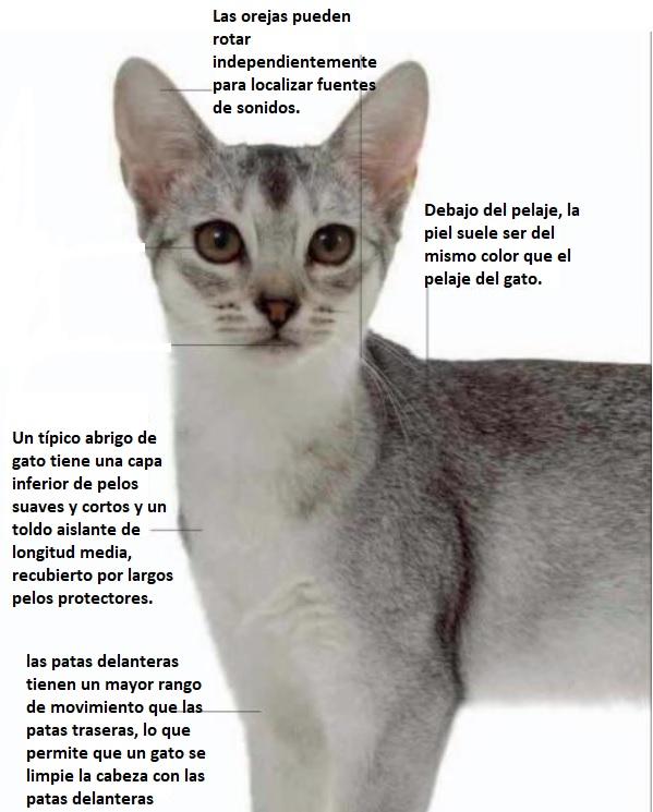 anatomía de un gato