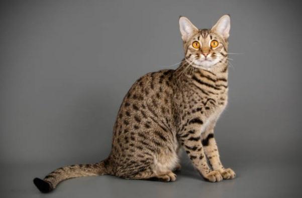 el GATO Savannah se desarrolló a partir de un cruce entre un siamés y un serval