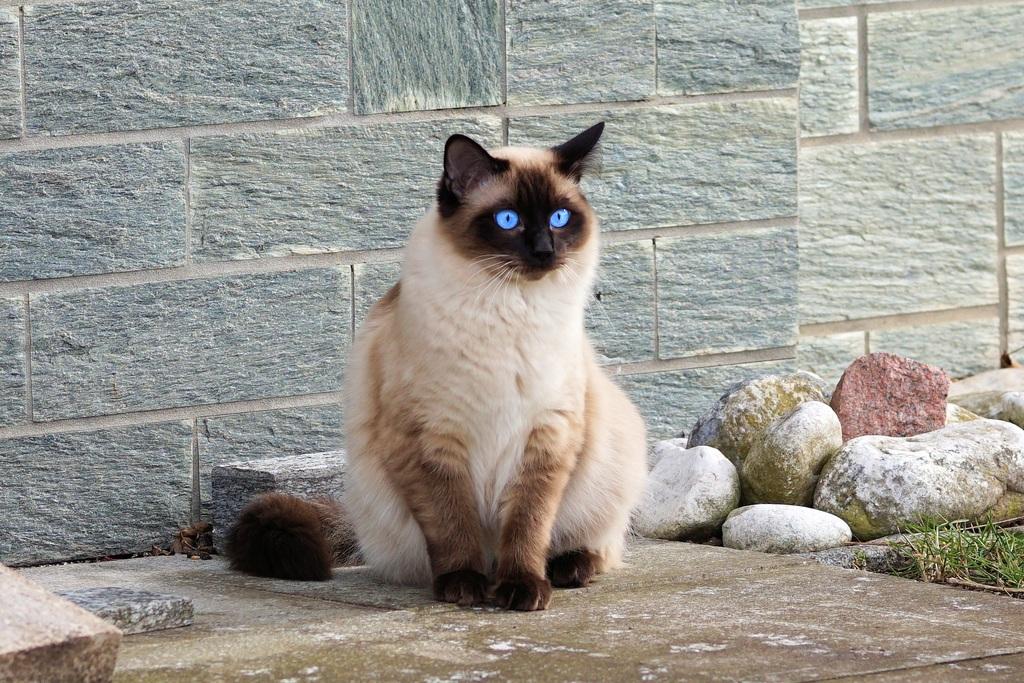 gato siames moderno