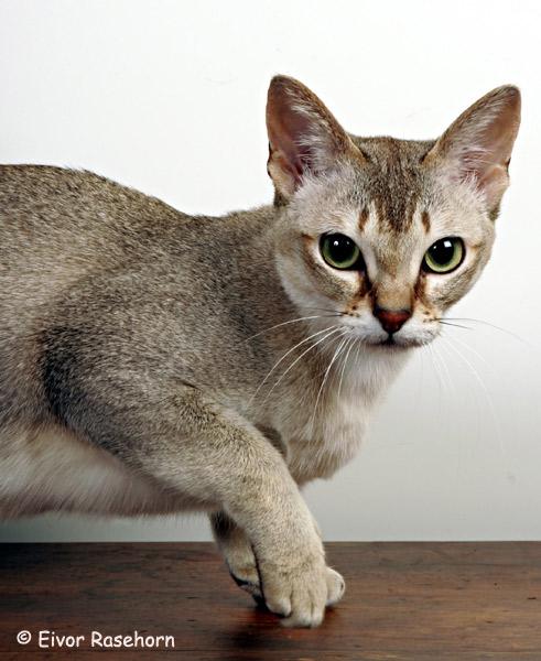gato singapura características