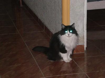 tapetum lucidum gatos