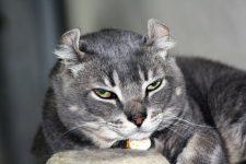 Gato Americano pelo corto de Orejas Rizadas- american curl