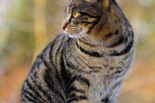 Gato Asiatico Tabby o Atigrado