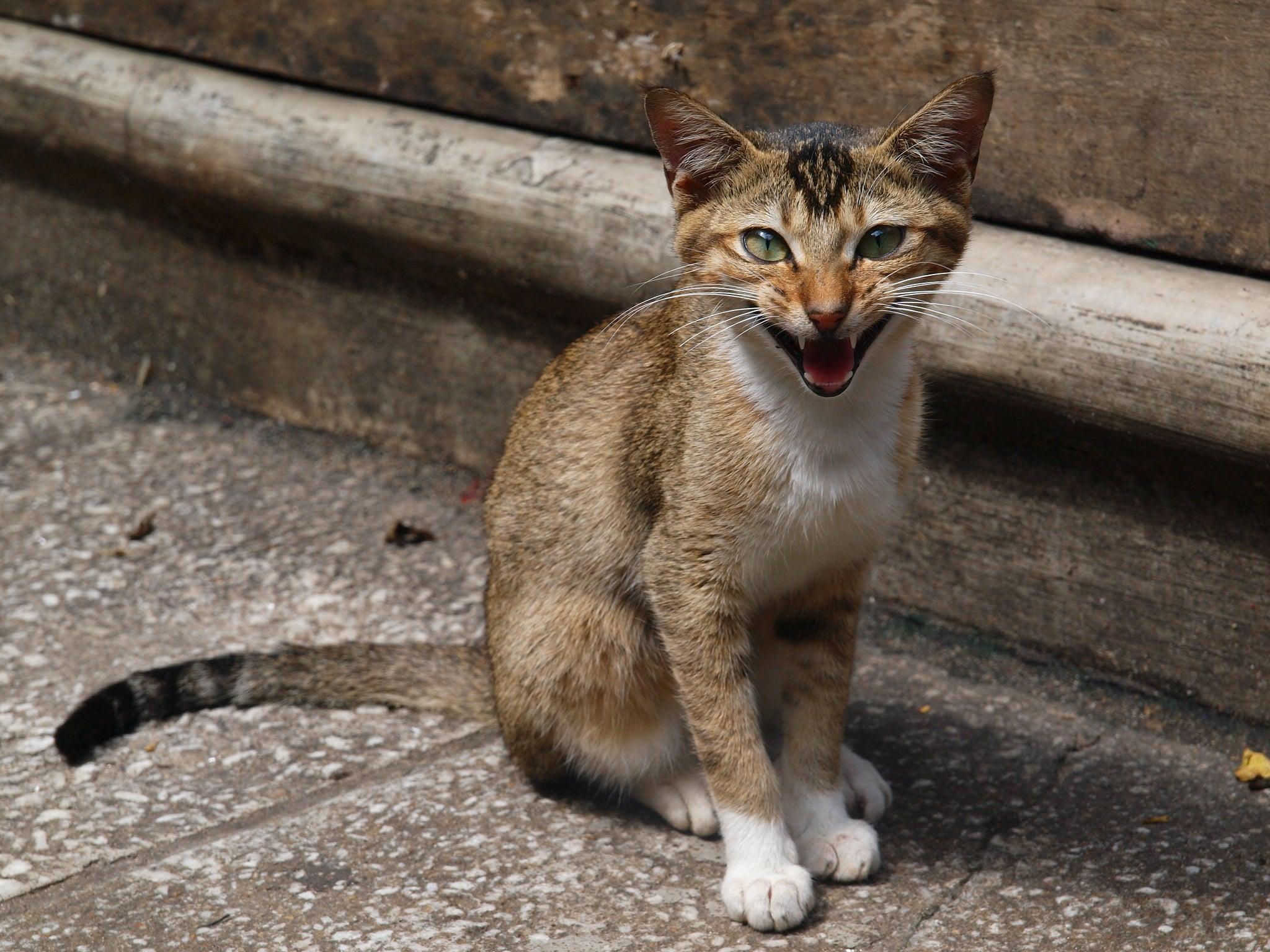 Gato Ceilán o Ceylon