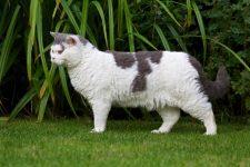 Gato Raza Selkirk Rex de pelo corto