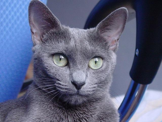 Gato Ruso Azul Blue