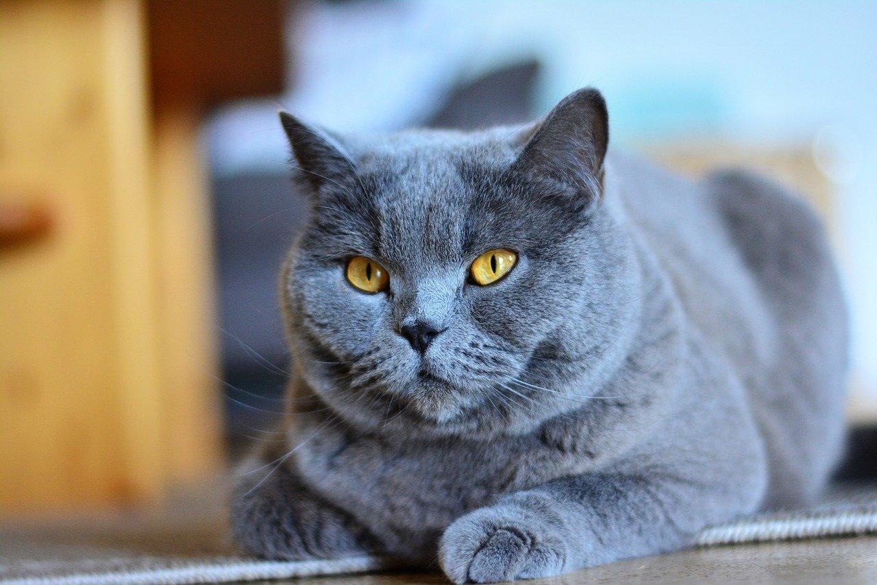 Gato chartreux o Cartujo