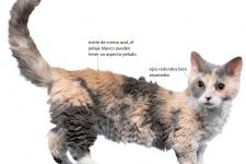 Gato enano Lambkin Dwarf-tiposdegatos.com