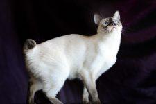 Gato mekong bobtail de cola corta
