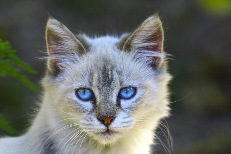 Gato raza Ojos Azules