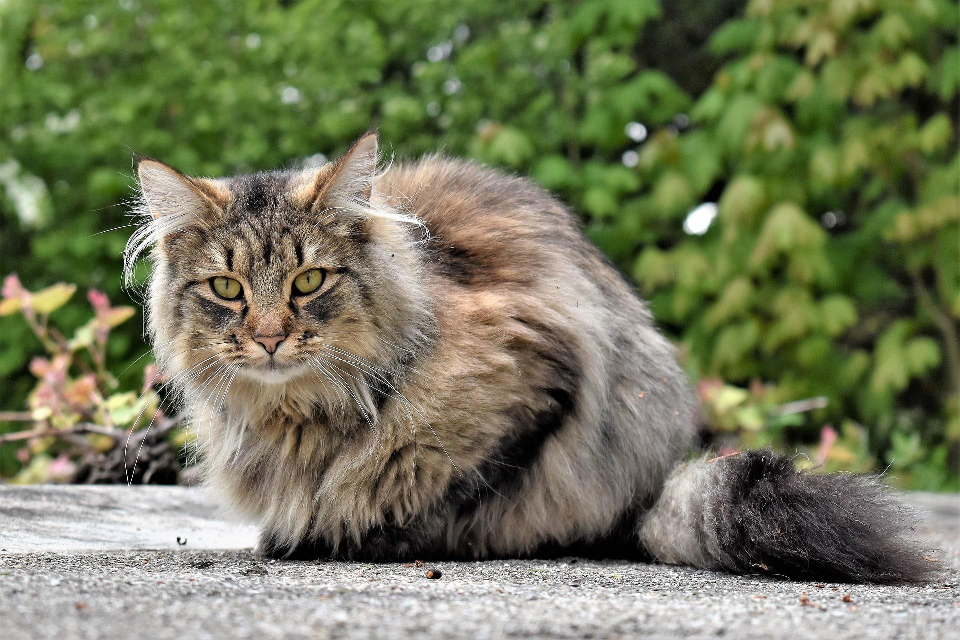 gatos de pelo largo razas
