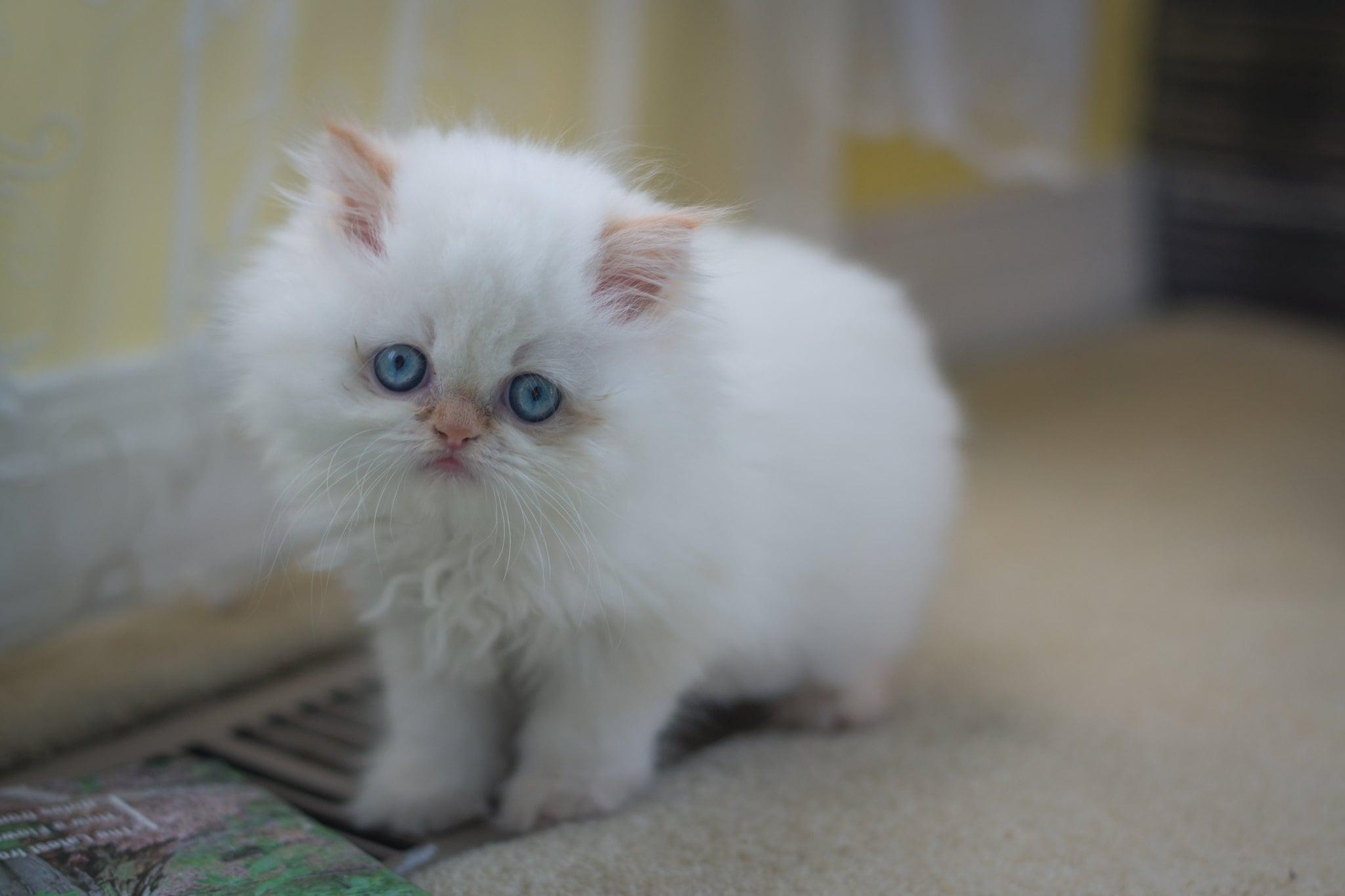 adorable bello gato bebe blanco