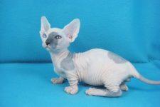 gato Bambino sin pelo de piel arrugada