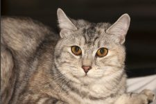 gato Bobtail de Kurilian pelo corto