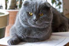 gato de raza scottish fold de orejas dobladas