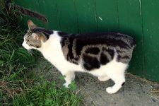 gato manx sin cola