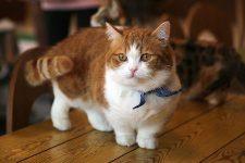 gato munchkin de patas cortas y cuerpo bajo