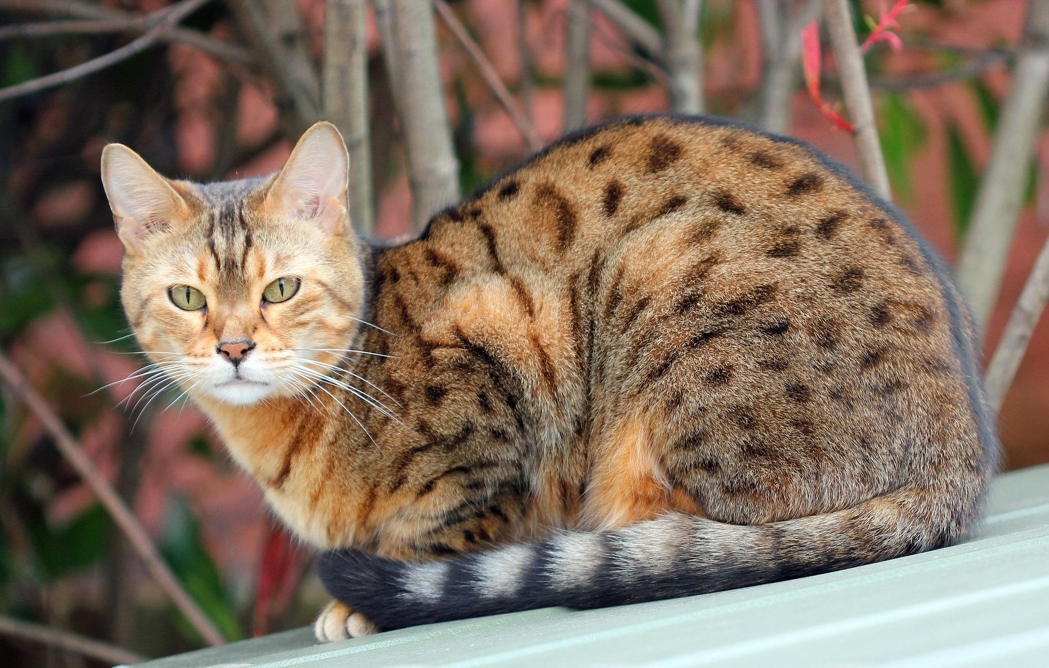 gato ocicat manchado