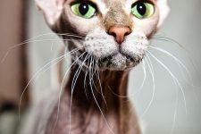gato peterbald de bigotes largos