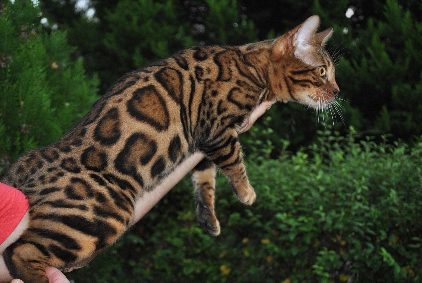 lindo Gato Bengali manchado