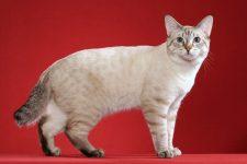 raza de gatos bobtail americano pelo corto y de cola corta