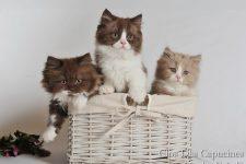 3 gatitos británicos de pelo largo Glamour, Gemma y el pequeño Guerlain (Criadero Clos des Capucines, Rouen, Francia)