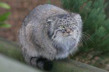 El gato de Pallas Otocolobus manul