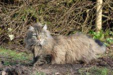 Gato Bosque de Noruega-norwegian forest cat