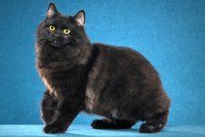 Gato Cymric negro