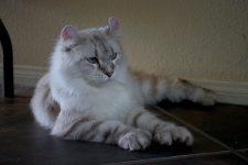 Gato Highlander pelo largo