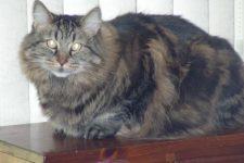 Gato PixieBob pelo largo