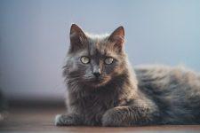 Gato Raza nebelung de pelo largo características y fotos