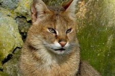 Gato de la selva-felis chaus