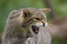 Gatos salvajes del mundo