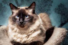 Raza de gato Balinés de pelo largo, características y fotos
