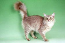 Raza de gato Javanés características y fotos