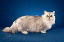 Raza de pelo largo gato Napoleon