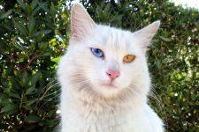 Una raza de gato única con dos colores de ojos diferentes originaria de Turquía. Llamó a la Van Turca