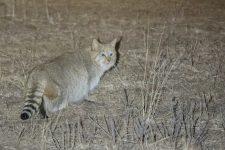 gato montés chino-felis bieti-gato- gato chino del desierto