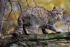 gato montés euroasiático